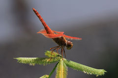 Beautiful red dragonfly Royalty Free Stock Photography
