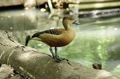 Beautiful red duck, Lesser Whistling-Duck (Dendrocygn a javanica Stock Image