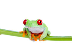 Beautiful red eyed tree frog on white background Royalty Free Stock Photos