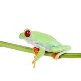 Beautiful red eyed tree frog on white background Royalty Free Stock Image