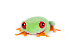Beautiful red eyed tree frog on white background Stock Photography