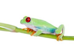 Beautiful red eyed tree frog on white background Stock Images