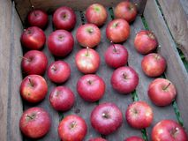 Beautiful red fall apples wooden crate stock image