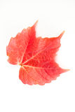 Beautiful red fall leaf Royalty Free Stock Images