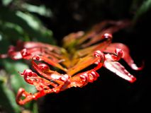 Beautiful red fern leaf in a rainforest, the image in selective focus isolated on dark background. A Beautiful red fern leaf in a rainforest, the image in royalty free stock photos