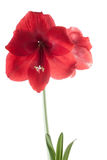 Beautiful red flower. Over light isolated on white background, studio shot Stock Photos