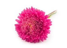 Beautiful red flower. Of aster on white background Royalty Free Stock Image