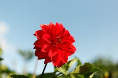 Beautiful red flower on the background stock image