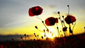 A beautiful red flower on a background of fiery sunset stock footage