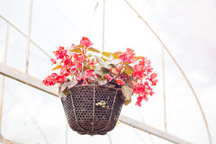 Beautiful red flower in the basket hanging stock image