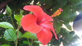 Beautiful red flower of big hibiscus. stock photography