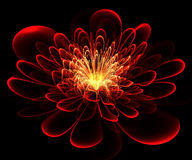 Beautiful red flower on black background. Royalty Free Stock Photo
