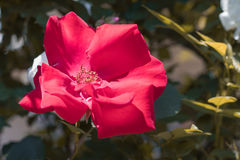 Beautiful  red flower blooming  in the garden Stock Photography