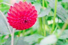 Beautiful red flower blooming in spring day by Macro lens . Beautiful red flower blooming in spring day stock images