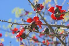 Beautiful red flower blossom of Bombax ceiba Royalty Free Stock Images