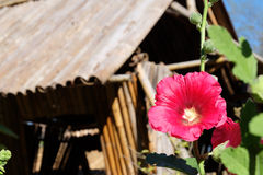 Beautiful red flower blossom in local thai style home house and blue sky. Royalty Free Stock Photography