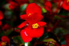 Beautiful red flower with blurry background. Beautiful red flower with a nice blurry background and beautiful sharp contrasty colours Stock Photos