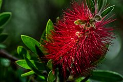 Red flower of Callistemon in green background royalty free stock image
