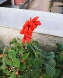 Beautiful red flower. Red flower click by me royalty free stock photo