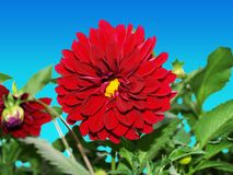 Beautiful Red Flower (ClipPath). Red flower with plants. Clip Path of flower and the plants is included Stock Photo