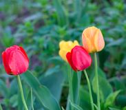 Tulips in the grass Royalty Free Stock Photos