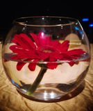Beautiful red flower on a fishbowl. Red flowers on a vase, table decoration, flowers on water, beauty in nature Royalty Free Stock Image