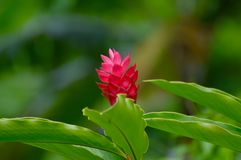 Flower in nature at Samoa. Beautiful red flower in the forests of the island  Samoa in the Pacific Ocean Royalty Free Stock Photo