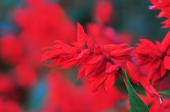 Beautiful red flower. In the garden Royalty Free Stock Photos