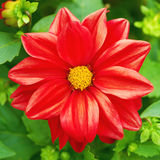 Beautiful red flower. In a garden Royalty Free Stock Photography