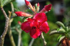 Beautiful red flower on green branch with water drops royalty free stock image