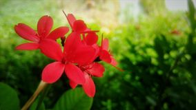Beautiful of red flower. Beautiful red flower with green leaf background royalty free stock photos