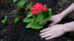 Beautiful red flower in the ground. Beautiful red flower with hands taken care of it royalty free stock image