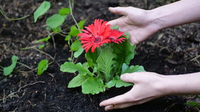 Beautiful red flower in the ground. Beautiful red flower with hands taken care of it stock photos