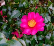 Beautiful red flower of Japanese Camellia. At garden stock photo