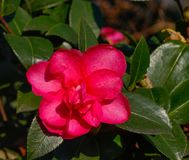 Beautiful red flower of Japanese Camellia. At garden stock photos