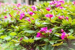 Beautiful red flower at Mae Fah Luang Garden Stock Photo