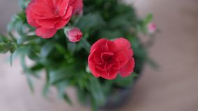 Closeup beautiful red flower with blurry background 2. Beautiful red flower with natural light Stock Images