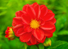 Beautiful red flower. In a nature Royalty Free Stock Images