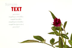 Beautiful red flower (Rose) isolated Stock Photography