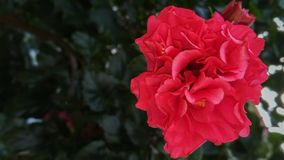 Beautiful red flower shrub,ever green plant stock images