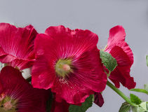 Beautiful red flower. Summer in the garden beautiful red gentle flower mallow on a light background Stock Images