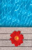 Beautiful red flower on swimming pool deck Royalty Free Stock Photography