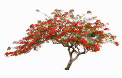 Beautiful Red Flower Tree, Peacock Flower Tree, Isolated . Stock Photography