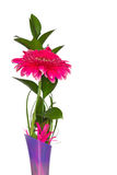 Beautiful red flower in a vase. Isolated on white background Stock Images