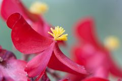 Beautiful red flower with yellow pollen in the middle of a blos stock photo