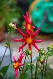 Beautiful red flowering dahlia honka. A beautiful red flowering dahlia honka plant royalty free stock image
