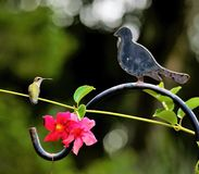 A Ruby-Throated Hummingbird looks at the iron bird and wonders why it will not say Hello royalty free stock images