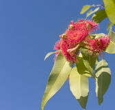 Beautiful red flowers of Australian native gum tree Royalty Free Stock Image