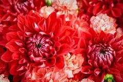 Beautiful red flowers background. Aster flowers, Top view. Selective focus Royalty Free Stock Photography