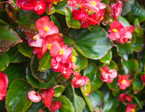 Beautiful red flowers. Beautiful red Begonia Plant closeup royalty free stock photography